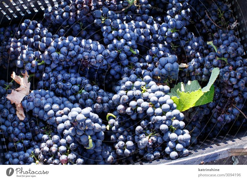 Vendemmia - grape harvest in a vineyard Fruit Work and employment Landscape Vehicle Bright Violet Bunch of grapes Harvest vendemmia fall Agriculture food Mature