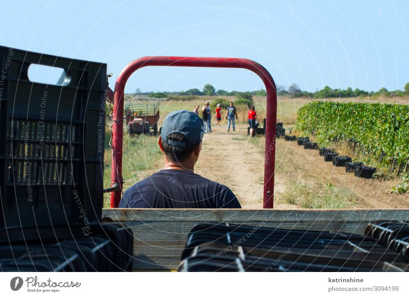 Workers during Vendemmia - grape harvest in a vineyard Fruit Work and employment Man Adults Landscape Vehicle Tractor Driving Bunch of grapes