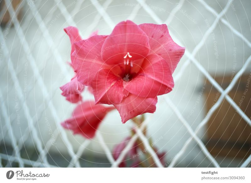 little flowers Plant Flower Rose Blossom Blossoming Red Pink Fence Growth Exterior shot Twilight
