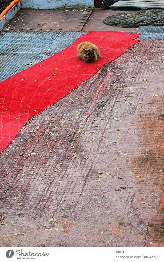 valuable l celebrity cat Animal Pet Cat Lie Sleep Carpet Red carpet Ground Floor covering Goof off Break Domestic cat Colour photo Exterior shot Deserted