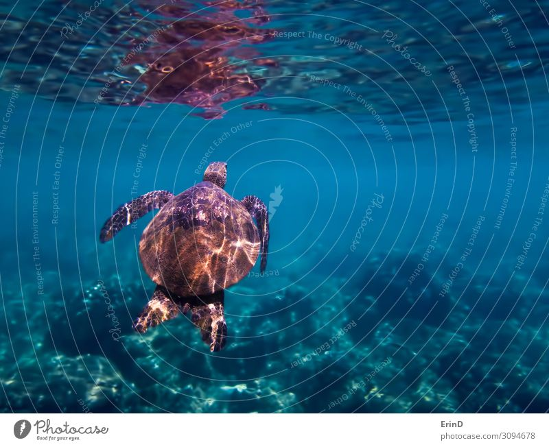 Green Sea Turtle Swims Towards Surface Underwater Joy Life Vacation & Travel Adventure Ocean Dive Nature Landscape Virgin forest Discover Exceptional