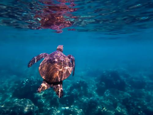 Green Sea Turtle Swims Towards Surface Underwater Vacation & Travel Nature Landscape Ocean Joy Life Exceptional Fresh Adventure Uniqueness Cool (slang) Discover