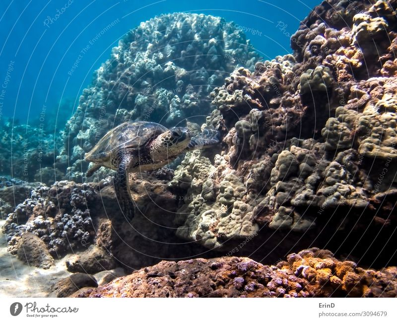 Green Sea Turtle Swims Along Coral in Hawaii Seascape Joy Life Vacation & Travel Adventure Ocean Dive Nature Landscape Virgin forest Discover Exceptional