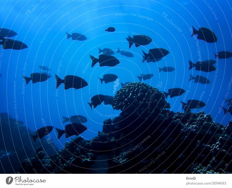 School of Black Fish Silhouette with One Coral Head in Deep Blue Life Vacation & Travel Ocean Dive Nature Exceptional Cool (slang) Fresh Uniqueness fish SCUBA