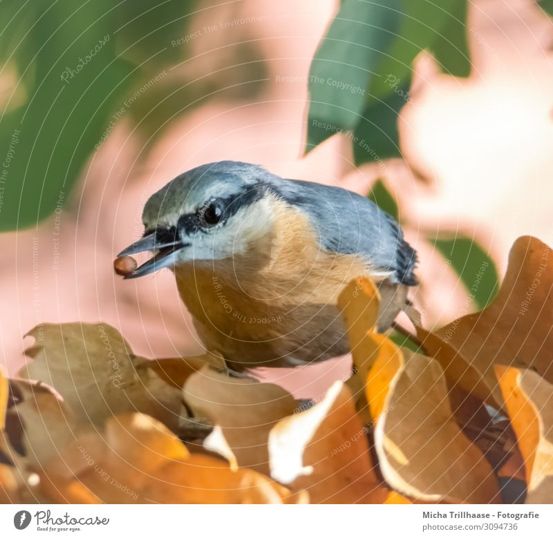 Nuthatch with a grain in its beak Nature Animal Sun Sunlight Beautiful weather Plant Tree Leaf Wild animal Bird Animal face Wing Eurasian nuthatch Beak Eyes