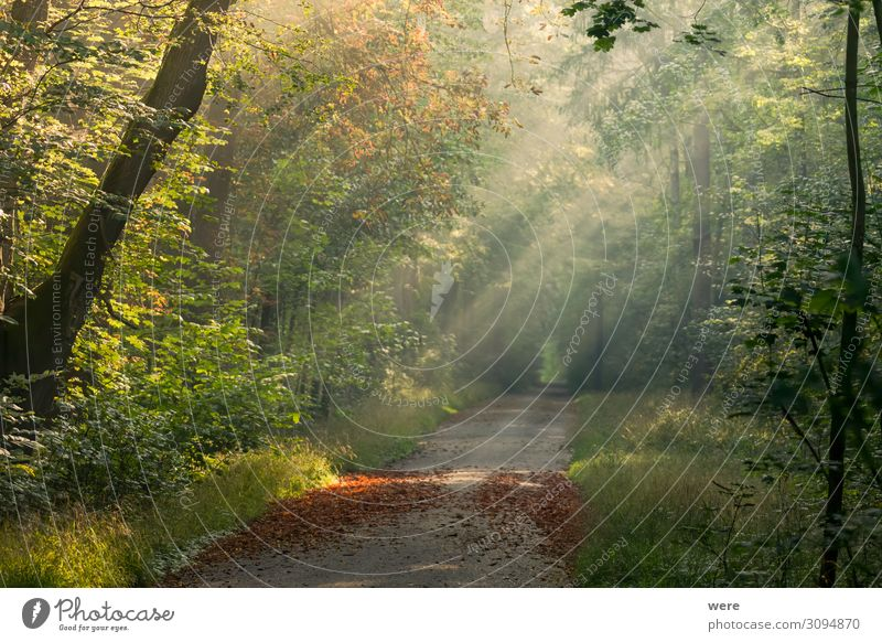 sunlit forest road with autumn leaves on the ground Nature Weather Beautiful weather Forest Virgin forest Warmth autumn forest copy space fog forest path