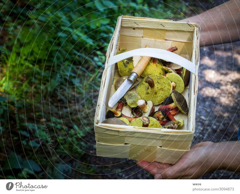 Wooden basket with mushrooms kept by 2 hands Food Nutrition Hand Nature Wild Capreolus capreolus Eating out of the forest copy space dangerous delicacy eating