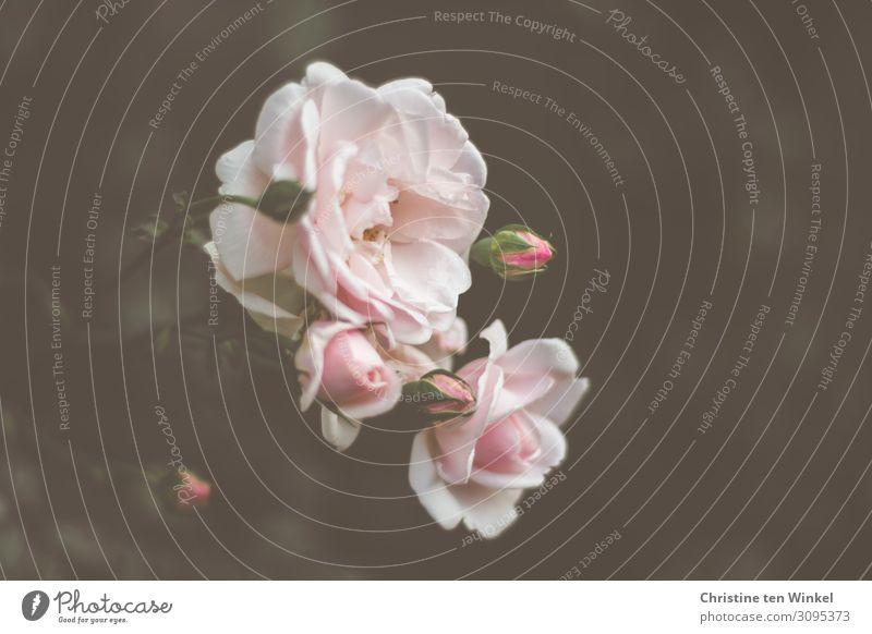 pink rose petals against a dark background Nature Plant Summer Flower Rose Esthetic Fragrance Elegant Beautiful Natural Pink Emotions Joie de vivre (Vitality)