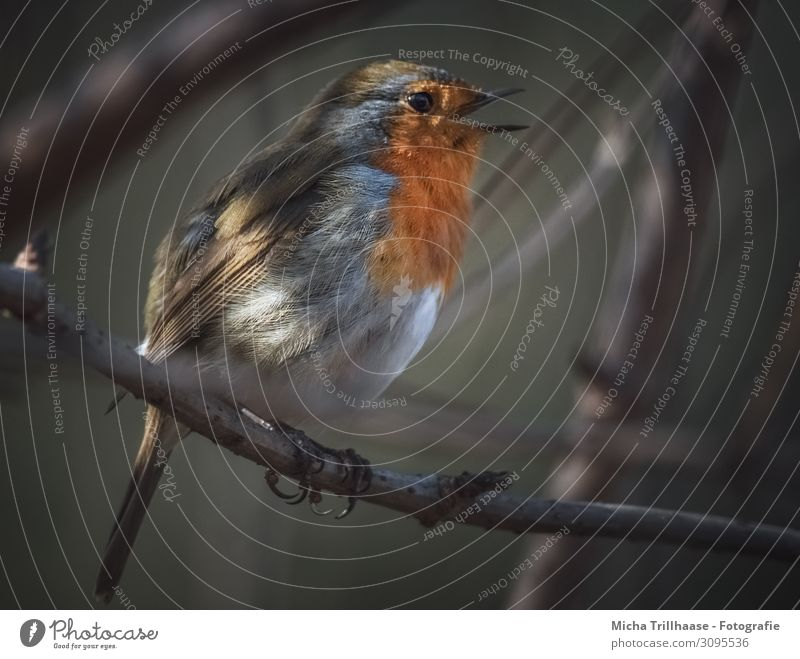Singing robin at dusk Nature Animal Sun Sunlight Beautiful weather Tree Twigs and branches Wild animal Bird Animal face Wing Claw Robin redbreast Beak Eyes