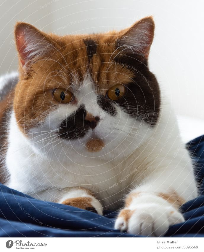 Cat British Shorthair Pet Animal face 1 Observe Lie Playing Exceptional Friendliness Happy Beautiful Uniqueness Feminine Brown Black White Contentment Trust