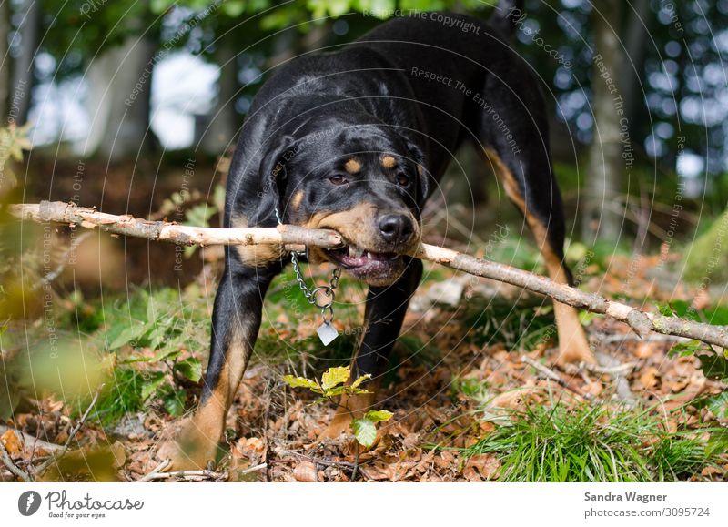 Autumnal dog pleasures Animal Pet Dog Rottweiler 1 Playing Brash Friendliness Happiness Happy Beautiful Curiosity Strong Crazy Wild Brown Green Black Joy