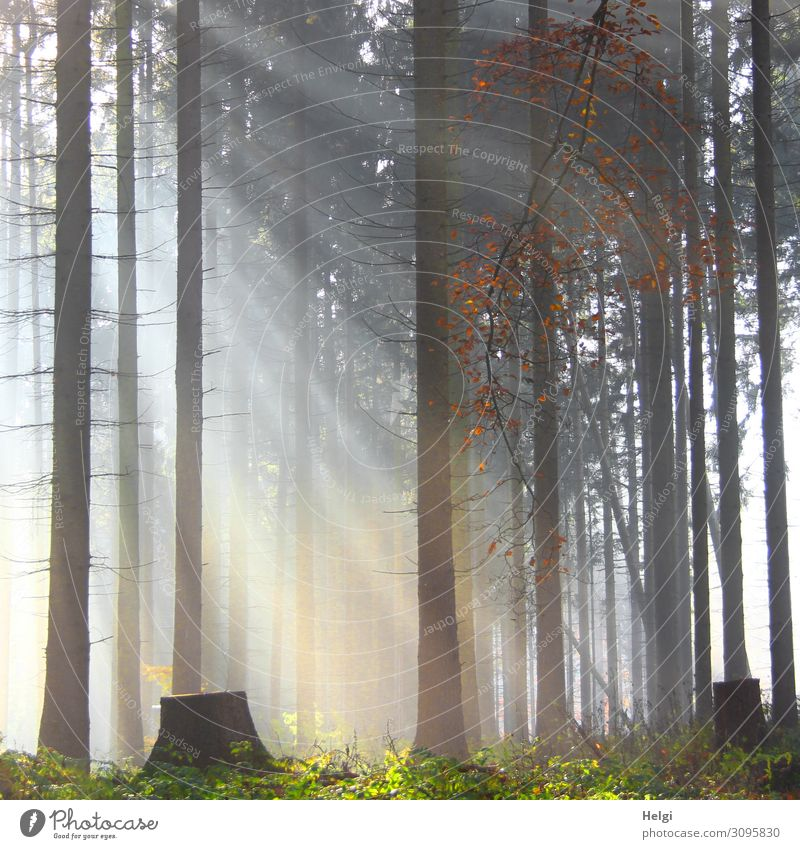 Light incidence between trees in the forest in light fog Environment Nature Landscape Plant Autumn Fog Tree Spruce Tree trunk Forest Illuminate Stand Growth
