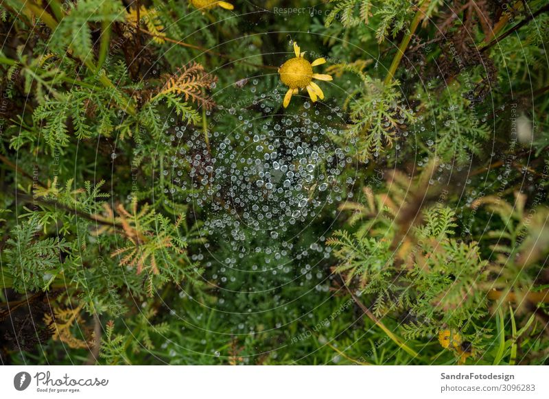 Spider web in the garden with rain drops Garden Nature Plant Park Forest Virgin forest Blossoming Green spider water Margin of a field Background picture