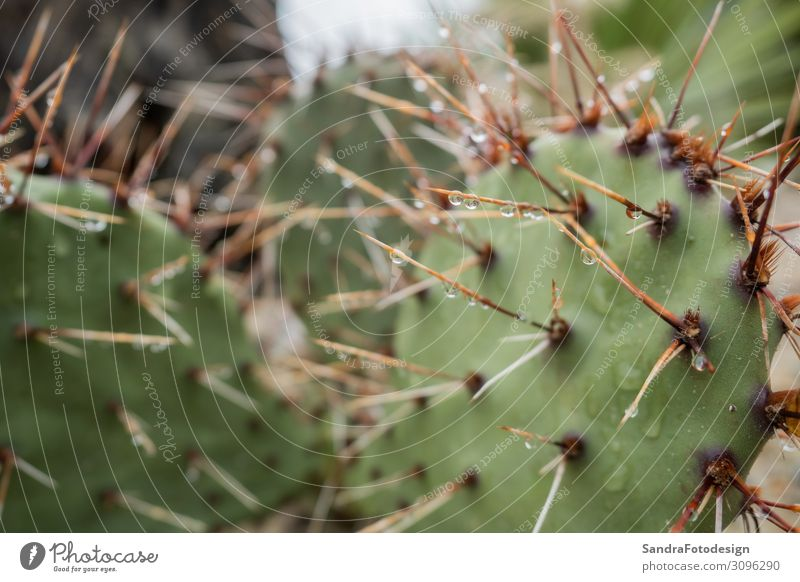 Spines of the cactus with rain drops Summer Nature Thorny Planning Margin of a field pattern green sharp succulent Background picture water color needle Torun