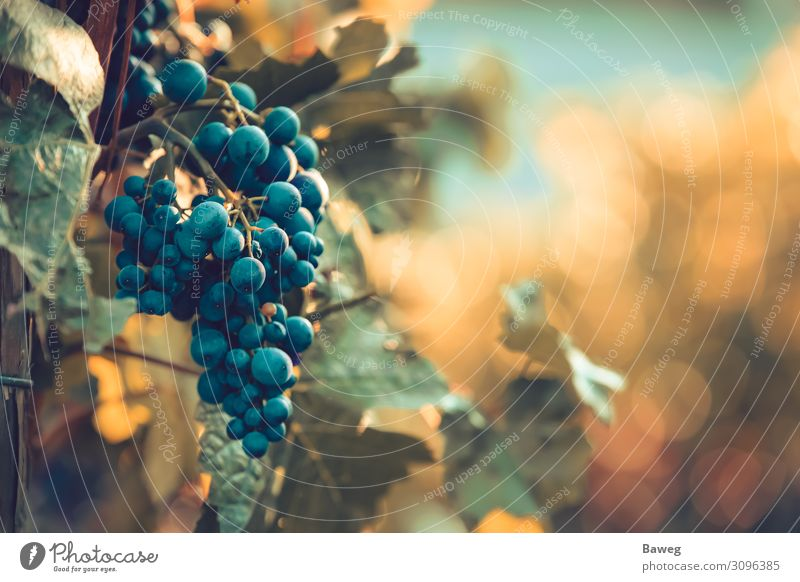 Ripe red wine grapes at sunset Wine Summer Sun Agriculture Forestry Gastronomy Plant Leaf To enjoy Fresh Bright Red Culture Burgundy Italy Class year Red wine