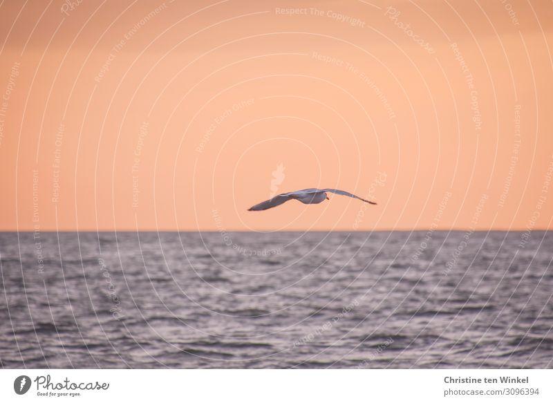 Gull flies over the sea at dusk Environment Nature Air Water Sky Horizon Sunrise Sunset Waves North Sea Wild animal birds Grand piano Seagull 1 Animal Flying