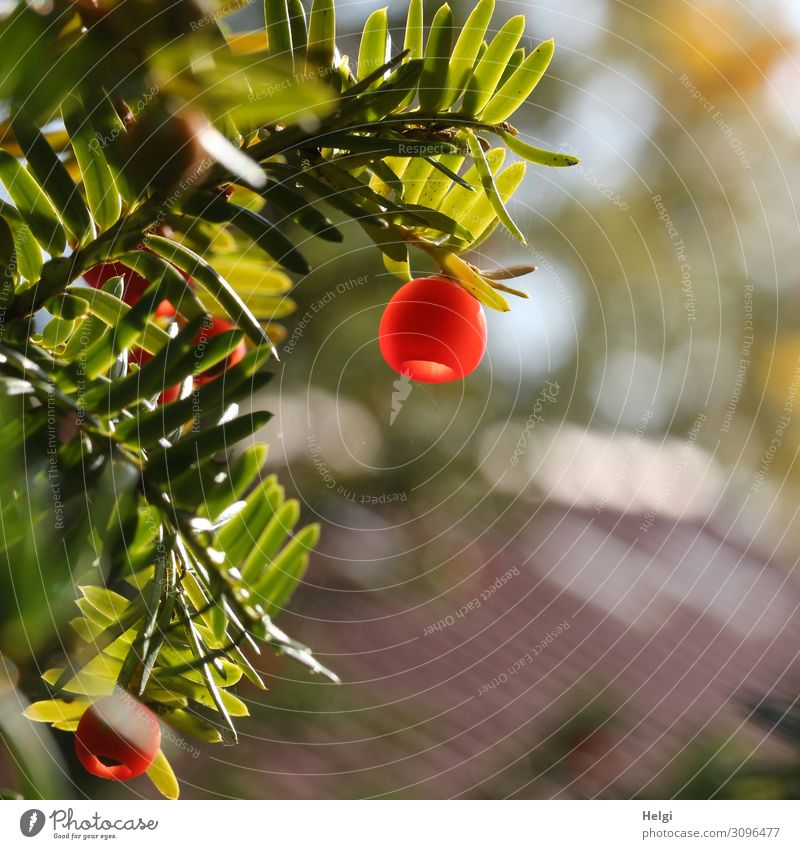 Branch of a yew with red fruiting body in backlight with Bokeh Environment Nature Plant Autumn Beautiful weather Bushes Foliage plant Seed Park Illuminate