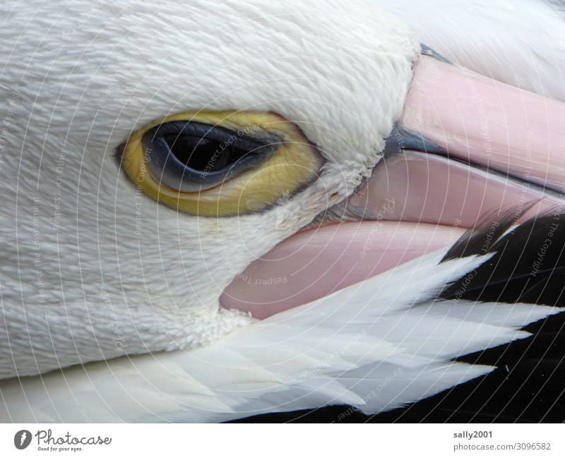 to risk an eye... Animal Wild animal Bird Animal face Pelican Spectacled Pelican Eyes Beak Feather 1 Observe Lie Looking Sleep Esthetic Exotic Curiosity