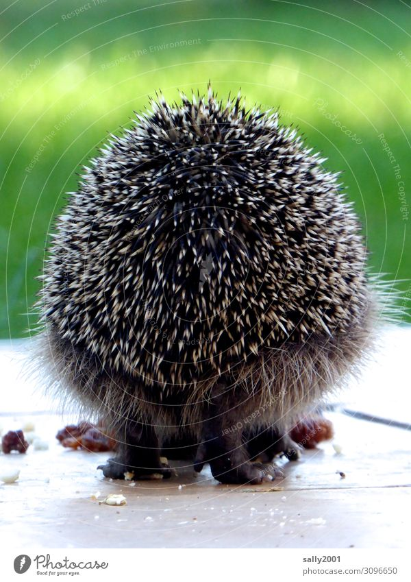 hedgehog's perspective... Animal Wild animal Paw Hedgehog Spine 1 To feed Cute Back Hind quarters spiny animal Garden Pelt Rear view Round Colour photo
