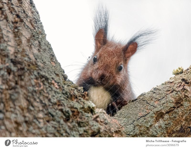 Curious looking squirrel Nature Animal Sky Sunlight Tree Tree trunk Crutch Wild animal Animal face Pelt Claw Paw Squirrel Eyes Ear paintbrush ears Nose Muzzle 1