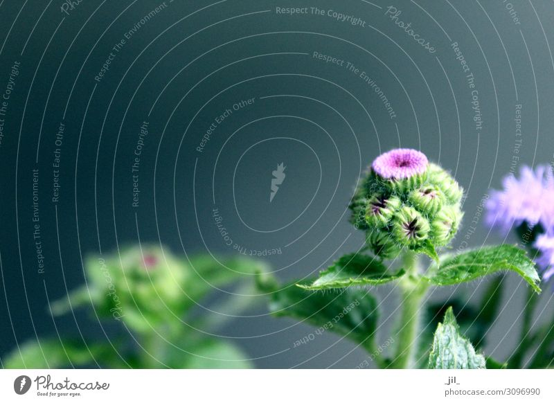 PURPLE FLOWER Autumn Foliage plant Growth Fresh Round Thorny Green Violet Power Life Uniqueness Far-off places Thistle Colour photo Interior shot Copy Space top