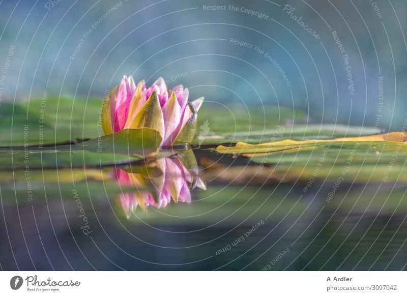 Water lily (Nymphaea) with reflection Wellness Harmonious Well-being Contentment Senses Relaxation Calm Meditation Cure Spa Garden Plant Summer Park Pond