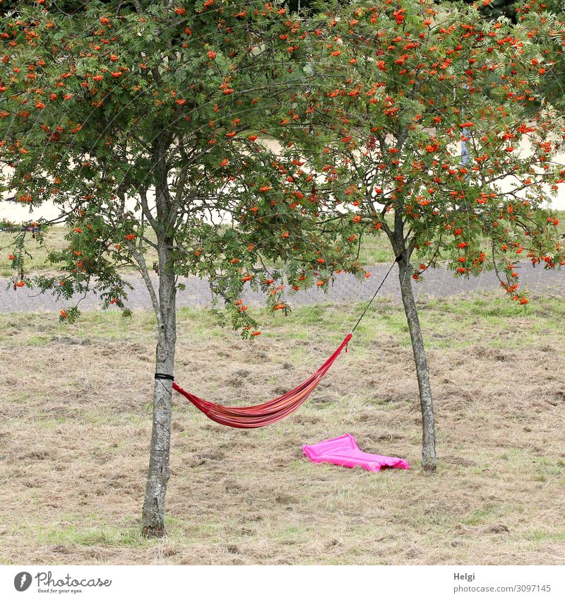 on a meadow between two trees hangs a red hammock, under it lies a pink air mattress Environment Nature Landscape Plant Summer Tree Grass Rowan tree Rawanberry