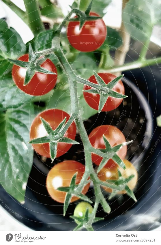 The ripening process Food Vegetable Nutrition Eating Organic produce Vegetarian diet Healthy Healthy Eating Nature Plant Growth Juicy Red Colour photo