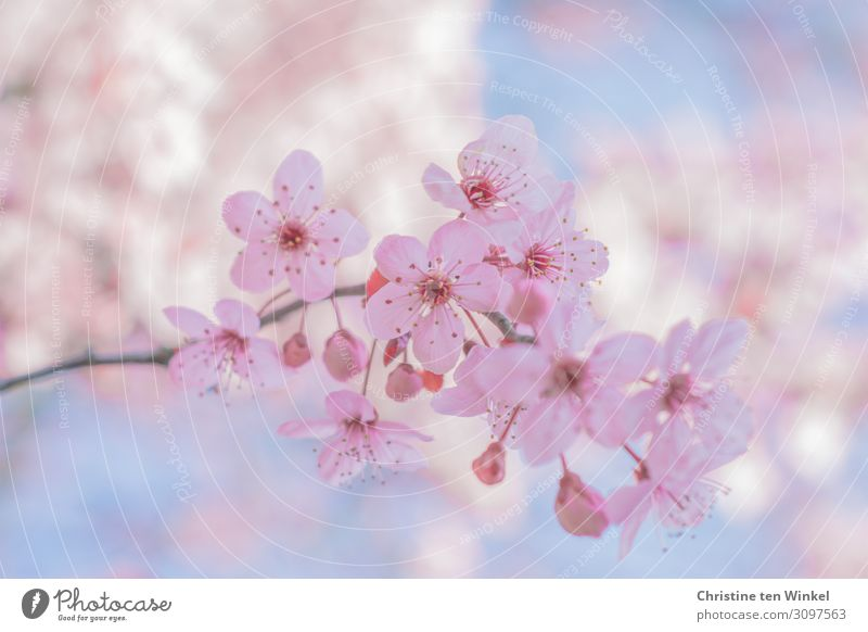 pink flowering twig of a blood plum in front of blue sky and other blurred flowering twigs Nature Plant Spring Tree Blossom Prunus cerasifera Twig Esthetic
