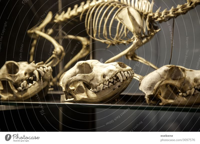Goat skeleton Design Decoration Hallowe'en Science & Research Art Nature Animal Old Natural Wild Brown Black White Death Fear Horror Bone big Forehead danger