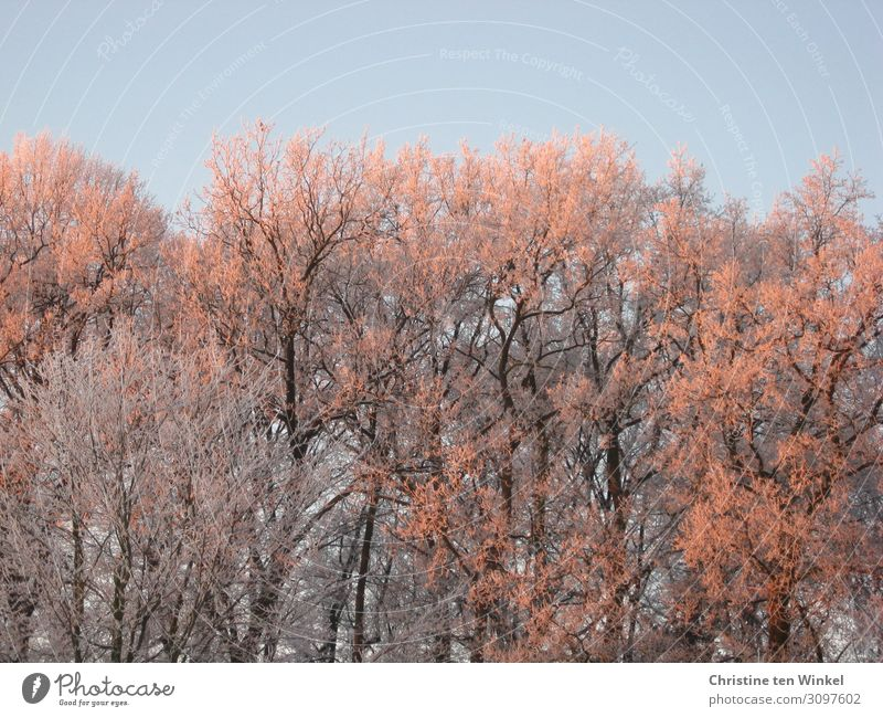 Tireless bare trees in the morning sun in front of a blue sky Environment Nature Sky Cloudless sky Sunrise Sunset Sunlight Winter Ice Frost Tree Forest