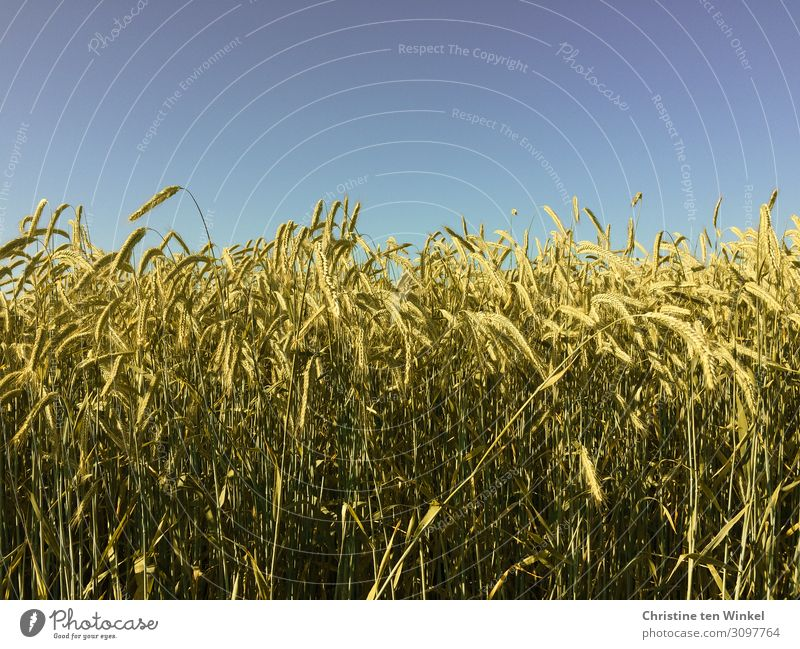 Cornfield with blue sky Grain Nutrition Environment Nature Sky Cloudless sky Summer Beautiful weather Plant Agricultural crop Near Natural Blue Yellow