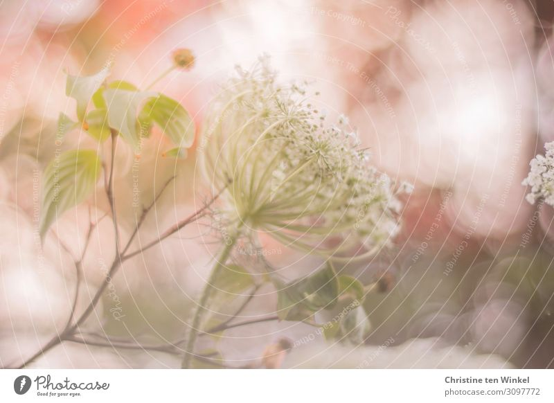 Wild carrot blossom against a pink background Environment Nature Plant Summer Flower Leaf Blossom Wild plant Dogwood Apiaceae Stalk Exceptional Elegant