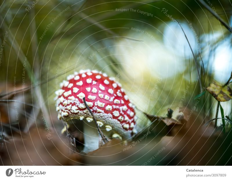An opening fly agaric Nature Plant Sky Autumn Grass Leaf Mushroom Amanita mushroom Park Forest Growth Esthetic Fresh Beautiful Natural Blue Brown Green Red