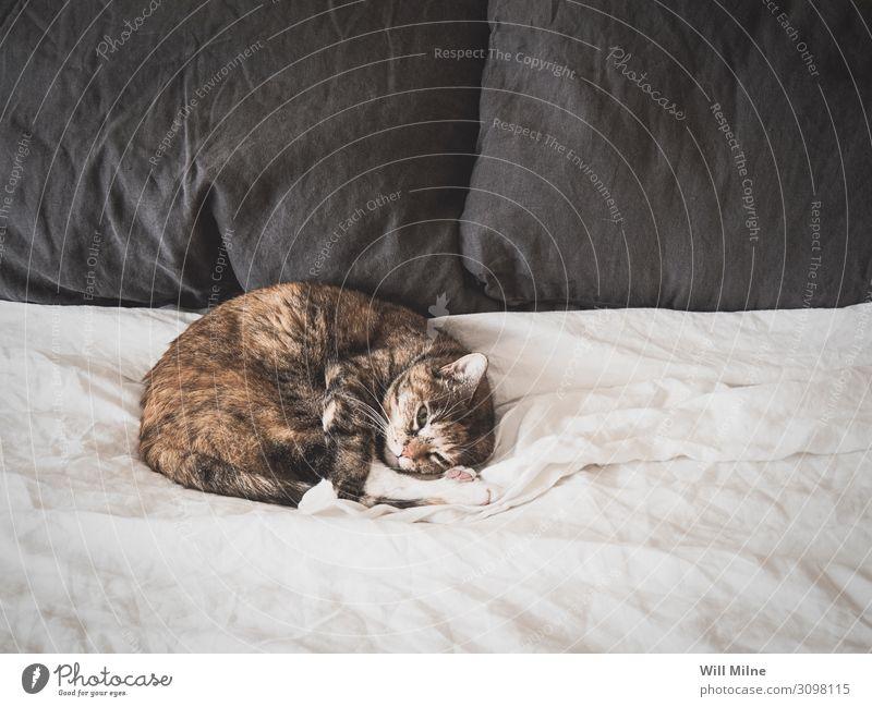 Cat Sleeping on a Bed Animal Pet Comfortable Morning Fur coat White Sheet Home