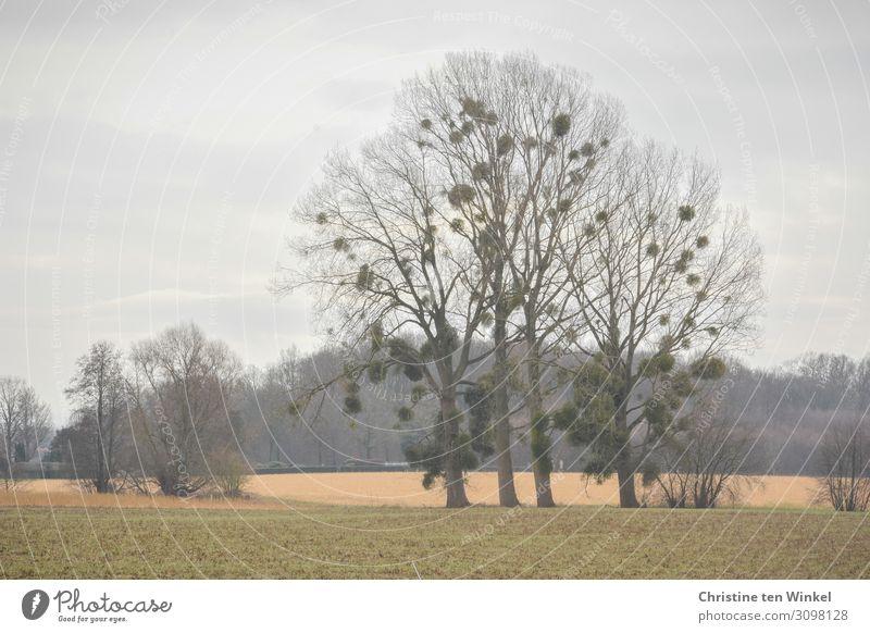 Mistletoe on winter bare deciduous trees huts bare trees Winter Nature Environment Autumn Loneliness Landscape Plant