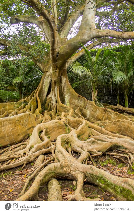 Roots, stem and branches of a mighty Moreton Bay fig. Nature Plant Tree Healthy Wall (building) Environment Senior citizen Natural Wall (barrier) Together Park