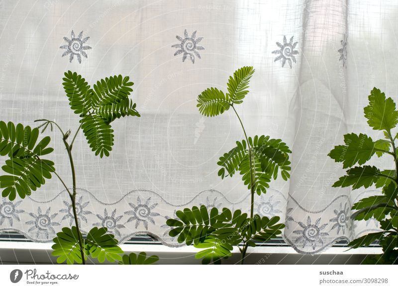 mimosa on the window Window Drape Curtain Plant wax Flower Mimosa Mimosa plant leaves Green Living or residing Deserted Flat (apartment) Pot plant Light