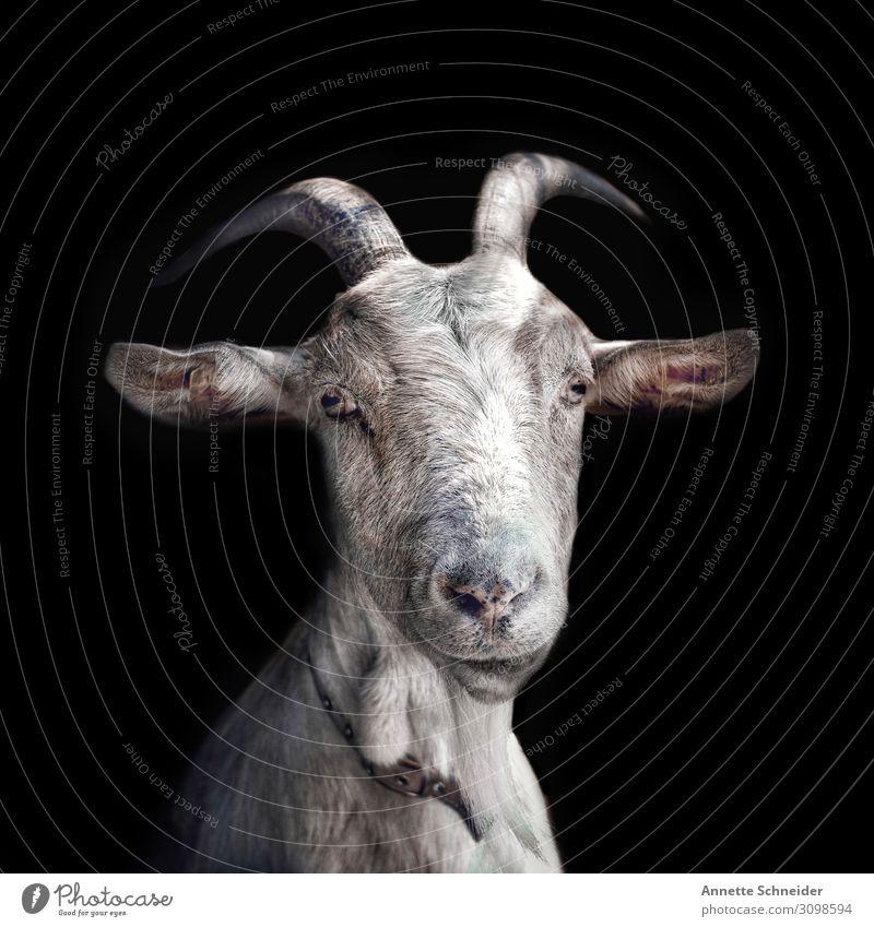 I'm not a stupid goat. Animal Pet Farm animal Animal face Pelt Goats 1 Looking Dream Cool (slang) Simple Brash Free Friendliness Happiness Fresh Healthy Happy