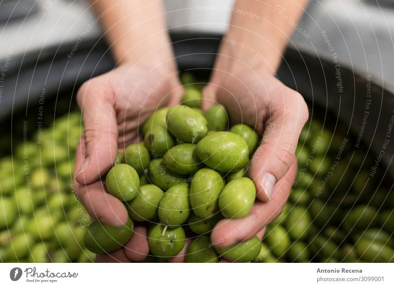 olives Fruit Work and employment Human being Woman Adults Man Hand Green Tradition show Olive Inspection Fermentation curation choice Selective Selection food