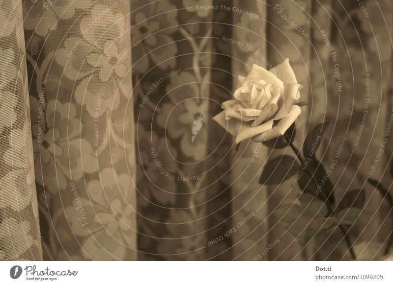 a rose Living or residing Flower Rose Retro Curtain Floral Old fashioned Window board Blossom Colour photo Subdued colour Pattern Deserted Copy Space left Day