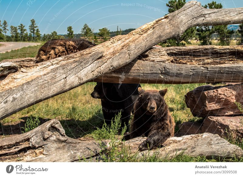 North American Black Bear Climbing on the fallen trees Summer Nature Animal Tree Grass Park Forest Fur coat Large Natural Wild Brown Gray Green Dangerous