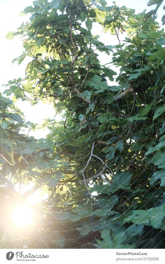Nature Summer Plant Landscape Sun Tree Forest Garden Romance Tolerant Truth Fig
