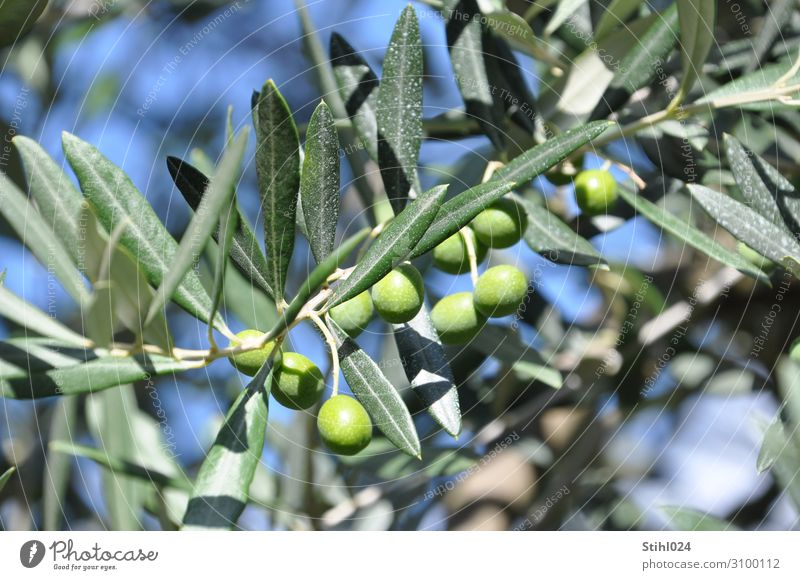 green olives on the tree Vegetable Olive Olive tree Olive leaf Organic produce Autumn Tree Agricultural crop Blue Green To enjoy Italy Mediterranean Biological