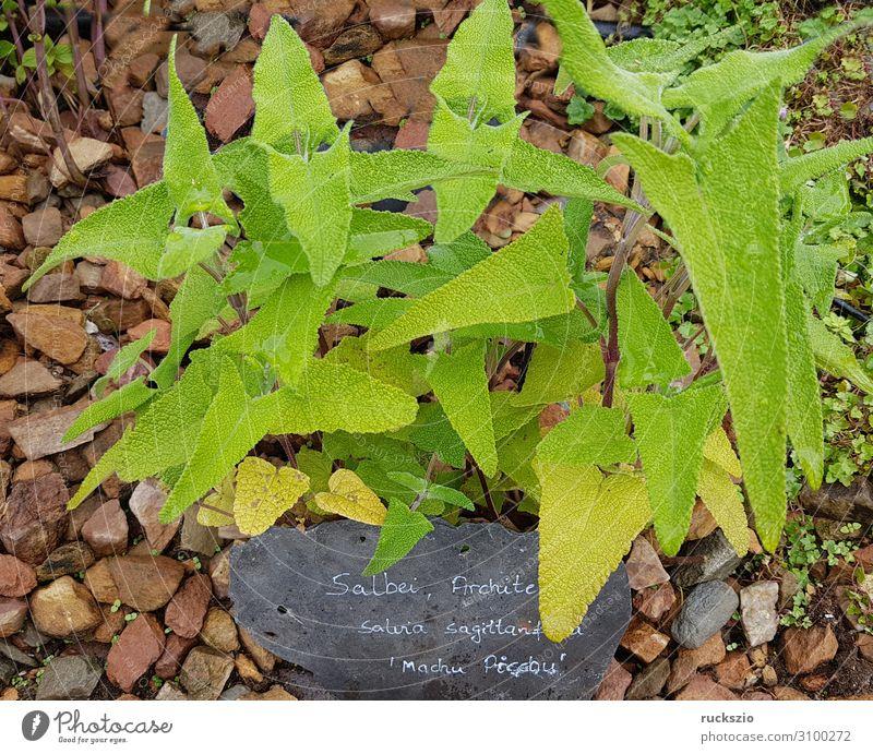 Architect sage, Salvia sagittarifolia, Machu Picchu Herbs and spices Green Architects Sage Machu Pichu Medicinal plant kitchen spice aromatic herb
