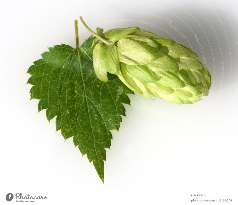 Hops, Humulus lupulus Plant Wild plant Green White Creeper Medicinal plant weed infestation field flora wild flora medicinal garden plant