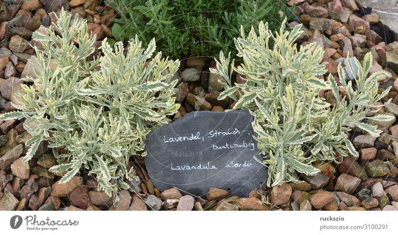 Lavender, shrub, variegated, lavendula allardii Herbs and spices Flower Bushes Blossom Blue Variegated-leaved Lavendula allardii aromatic plant fragrance leaf