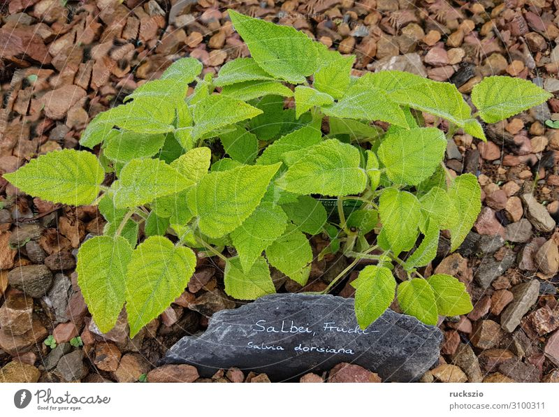 Green Fruit Herbs and spices Tea plants Medicinal plant Bitter Sage