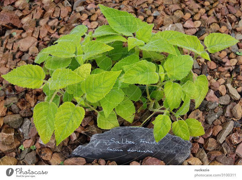 Sage, Fruit, Salvia dorisiana Herbs and spices Green salvia dorisiana Medicinal plant kitchen spice aromatic herb herbaceous plant Tea plants aromatic plant say