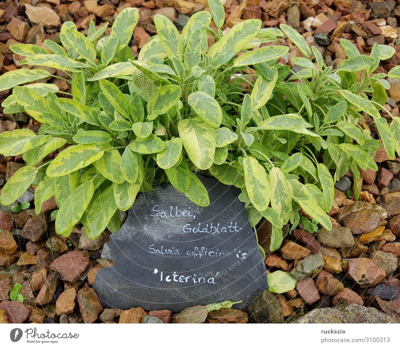 Sage, Gold leaf, Salvia officinalis, Iceterina Herbs and spices Authentic gold leaf salvia officinalis Medicinal plant kitchen spice aromatic herb